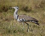 Kori bustard (Ardeotis kori), Ngorongoro Crater, Tanzania, East Africa, Africa
