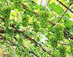 Muscat grapes, Okayama Prefecture
