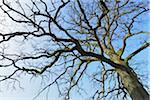 Old Common Oak Tree (Quercus robur), Spessart, Hesse, Germany