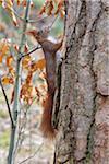 European Red Squirrel (Sciurus vulgaris) on Tree Trunk, Hesse, Germany