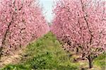 peach orchar