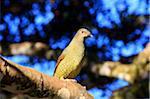 SATIN BOWERBIRD . FEMALE