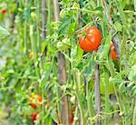 fresh ripe tomatoes in garden