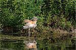 Squacco Heron (Ardeola ralloides) standing in a lake. Comana Natural Park, Romania