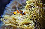 Cute orange white clown fish in the reef
