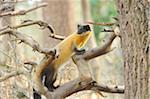 Yellow-throated Marten (Martes flavigula) Climbing a Tree, Bavaria, Germany