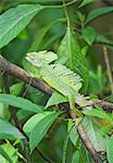 Basilisk lizard (Basiliscus plumifrons) on tree branch, Costa Rica