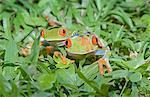 Red-eyed tree frogs (Agalychnis callidryas) on plants, Costa Rica