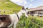 Portrait of curious goat, Tyrol, Austria