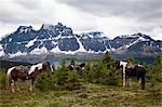 Horses, Jasper National Park, Alberta, Canada