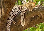Leopard, Panthera pardus, Okavango Delta, Botswana.