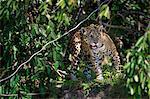 Jaguar, Panthera onca, Brazil