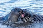 Southern Elephant Seal Pups, Mirounga leonina, South Georgia Island, Falkland islands