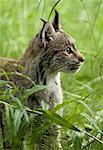 Canada Lynx, Katmai National Park, Alaska, USA