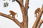 Olive baboons climbing a tree, Papio anubis, Mole National Park, Ghana