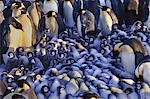 Emperor penguin chicks huddling together, Aptenodytes forsteri, in the region of the Weddell Sea, Antarctica