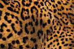 Close up of a jaguar with distinctive markings on the fur, Panthera onca, Belize