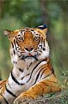 Bengal tiger, Panthera tigris tigris, Western Ghats, India