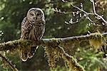 Barred Owl, Olympic National Park, Washington, USA