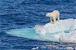 Adult polar bear (Ursus maritimus) on small ice floe, Cumberland Peninsula, Baffin Island, Nunavut, Canada, North America