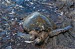 Sea turtle (Chelonioidea), Punaluu Black Sand Beach on Big Island, Hawaii, United States of America, Pacific