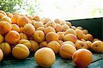 Wheelbarrow full of apricots in farm orchard