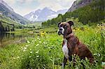 Dog sitting in wildflower meadow, Aspen, Colorado, USA
