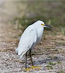 Snowy Egret (Egretta thula) Portrait