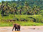 Elephant at Pinnawala Elephant Orphanage, Sri Lanka, Asia