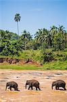 Three elephants in the Maha Oya River at Pinnawala Elephant Orphanage near Kegalle in the Hill Country of Sri Lanka, Asia