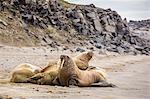 Male Atlantic walrus (Odobenus rosmarus rosmarus) hauled out to molt at Kapp Lee, Edgeoya, Svalbard, Norway, Scandinavia, Europe