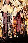 Indian ornamental corn, The Hamptons, Long Island, New York State, United States of America, North America