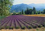 Lavender Field, Plateau de Sault, Provence, France