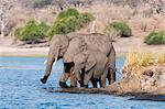Elephants (Loxodonta africana), Chobe National Park, Botswana, Africa