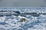 Polar Bear (Ursus maritimus) on pack ice, Spitsbergen, Svalbard, Norway, Scandinavia, Europe