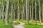 Gespensterwald (ghost forest) near Nienhagen, Baltic Sea, Mecklenburg-Vorpommern, Germany, Europe