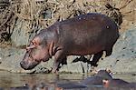 Hippopotamus (Hippopotamus amphibius) returning to the water, Serengeti National Park, Tanzania, East Africa, Africa