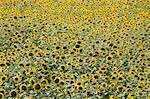Sunflowers, Provence, France, Europe
