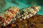 Pair of Reef lizardfish.