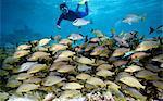 Snorkeler and schooling fish.