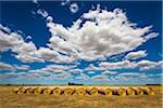 Hay Bales in Field from Hamilton Highway, Scotmans Lead, Victoria, Australia