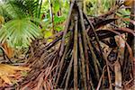Rainforest, Vallee de Mai Nature Preserve, Praslin, Seychelles
