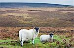 Blackfaced sheep in Dartmoor countryside, Devon,  United Kingdom