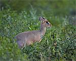 Male Kirk's dik dik (Kirk's dik-dik) (Madoqua kirkii), Serengeti National Park, Tanzania, East Africa, Africa