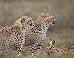 Two young cheetah (Acinonyx jubatus), Serengeti National Park, Tanzania, East Africa, Africa
