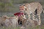 Cheetah (Acinonyx jubatus) family at a kill, Serengeti National Park, Tanzania, East Africa, Africa