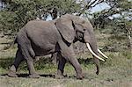 African Elephant (Loxodonta africana), Serengeti National Park, Tanzania, East Africa, Africa