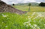 Walking through Spring meadows near Hawes, Wensleydale, Yorkshire Dales National Park