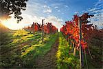 Italy, Umbria, Perugia district. Autumnal Vineyards near Montefalco.