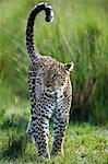 Kenya, Masai Mara, Narok County. Female leopard scent marking.